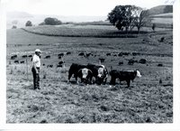 Cattle on improved pasture, 1967