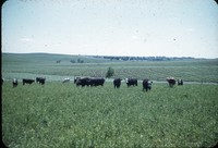 Cattle grazing in pasture.