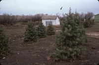 Concolor fir windbreak.