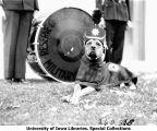 ROTC canine mascot, Rex, wearing uniform, The University of Iowa, 1929
