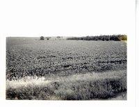 Merle Frundle cornfields