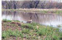 Wildlife habitat with Canadian Goose