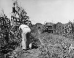 Man cutting corn stalk, 1951