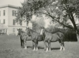 Three Clydesdale fillies, 1922