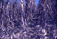 Dale Waters cornfield