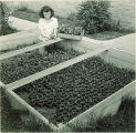 Pharmacy student working with plants in coldframe, The University of Iowa, 1940s
