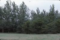 Windbreak on the Luetkeman farmstead.