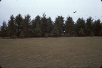 Black Hills spruce windbreak.