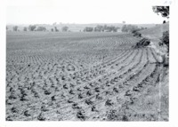 Contoured corn on Paul Carstensen farm, 1964