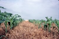 Dan McAllister's corn and hay rows, 1983