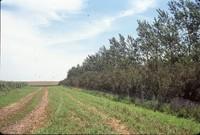 Windbreak on Tom Hueser's farm.