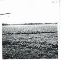 Glen Keiffer tile drainage field, 1967