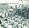 Man inspecting plants in a greenhouse, The University of Iowa, 1950s