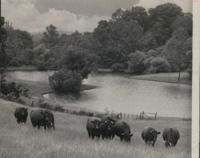 Cattle in a Pasture near a Pond.