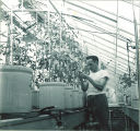 Man inspecting plants inside a greenhouse, The University of Iowa, 1950s