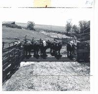 Albert Kilburg's livestock crossing