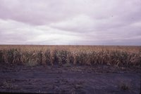 Cornfield after heavy rain