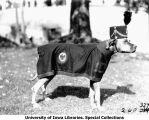 ROTC canine mascot Rex in uniform, The University of Iowa, 1929