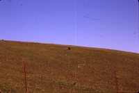 Turkey Vulture in a Field.