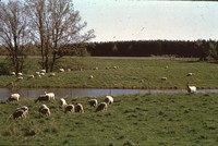 Sheep grazing in a field.
