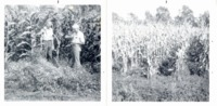Crownvetch in cornfield, 1975