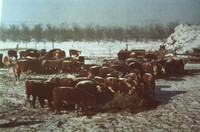 Feeding cattle hay in the winter.