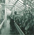 Pharmacy student working with plants in a greenhouse, The University of Iowa, 1940s