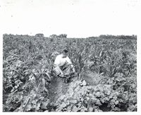 Man in young cornfield