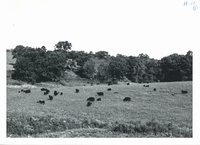 Improved pasture on Waldo Mommsen farm, 1965