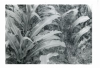 Army worm damage on Yeager corn, 1980