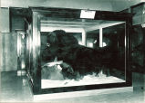 Musk ox exhibit at Museum of Natural History, The University of Iowa, 1930s?