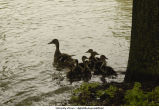 Ducks swimming in floodwater, The University of Iowa, June 13, 2008
