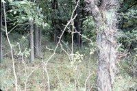 Honey locust in woods, 1985