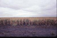 Corn in muddy field