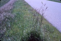 Big bluestem grass in Cherokee County, Iowa.