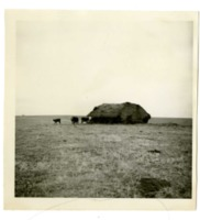 James Winston's Cattle