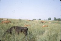 Cows in grassy field