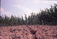 Green corn in field