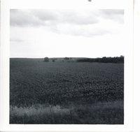 Frundell cornfield, 1969