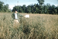 L. Peterson measures switch grass and sericea on R. Dudley's farm.