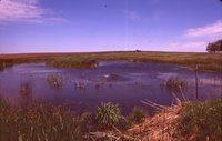 Geese on a Farm Pond.
