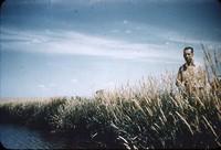 Reeds canary grass.