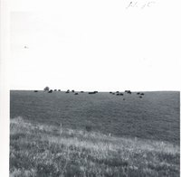 Angus cow herd grazing on Leo Martens farm, 1969