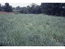 Melvin Bird farm switchgrass, 1983