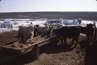 Cattle in a feedlot in winter.