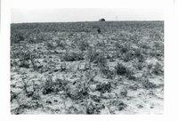 Robert O'Connell hail damaged corn