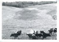 Livestock on Merle Caraway farm, 1962