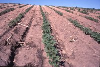Beans in field