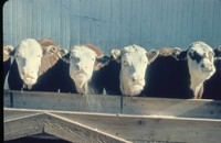 Cattle at a feed bunk.