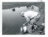 Tom Nielsen transfers fingerling catfish into pond